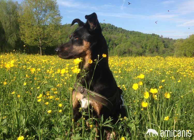 Juno - Kundin Hundeschule amicanis