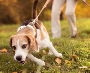 Hundeschule-Zuerich-Kurs-lockeres-Leinelaufen