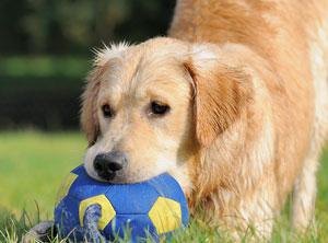 Verhaltenstherapie-Zuerich-Hund-Balljunkie