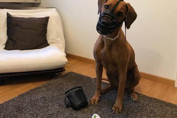 Maulkorbtraining Hundeschule amicanis Zürich